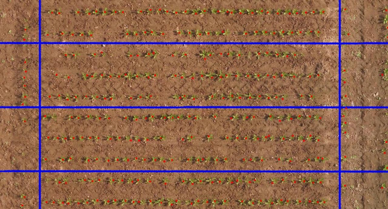 Comptage par drone sur betteraves au stade 4 feuilles