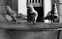 Pigeon photographe pour surveillance aérienne