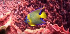 Poisson multi couleurs en prise de vue sous marine de fonds marins