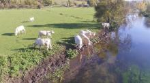 Vaches photographiées au bord d une rivière par un drone
